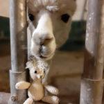Steffi already has alpacas...